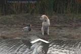 Собака и пластик встретить уток приземлился на Google Maps